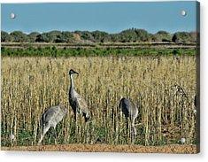 Feeding Greater Sandhill Cranes Acrylic Print