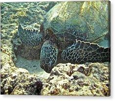 Feeding Sea Turtle Acrylic Print by Michael Peychich