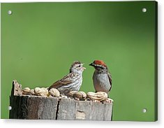 Feeding Time Doesn't Stop Even After Leave The Nest Acrylic Print by Dan Friend