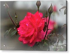 Feeling Rosy Acrylic Print