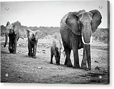 Female African Elephant Acrylic Print by Cedric Favero