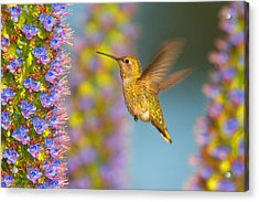 Female Anna's Hummingbird Huntington Beach California Acrylic Print by Ram Vasudev