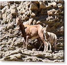 Female Bighorn Sheep With Juvenile Acrylic Print