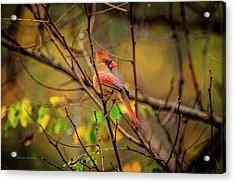 Female Cardinal #1 Acrylic Print