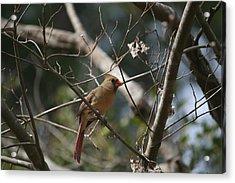 Female Cardinal 3 Acrylic Print