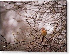 Acrylic Print featuring the photograph Female Cardinal In Spring 2017 by Terry DeLuco