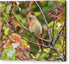 Acrylic Print featuring the photograph Female Cardinal In The Berries by Kerri Farley