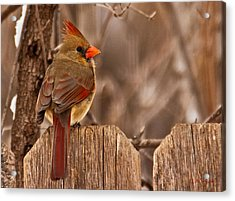 Female Cardinal On The Fence Acrylic Print