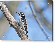 Acrylic Print featuring the photograph Female Downey Woodpecker 1104  by Michael Peychich