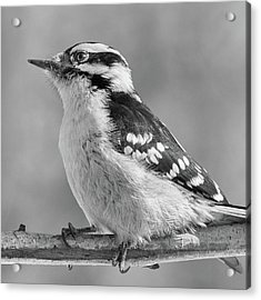 Female Downy Woodpecker In Winter Acrylic Print by Jim Hughes
