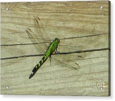 Female Eastern Pondhawk Dragonfly Acrylic Print