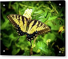 Female Eastern Tiger Swallowtail  Acrylic Print