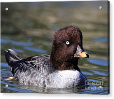 Female Goldeneye Duck . 40d9980 Acrylic Print