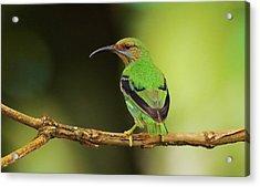 Female Green Honeycreeper At Trinidad's Asa Wright Acrylic Print