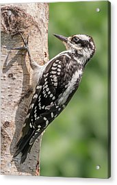 Acrylic Print featuring the photograph Female Hairy Woodpecker In Minnesota by Jim Hughes