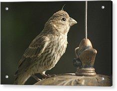 Female House Finch On Feeder Acrylic Print