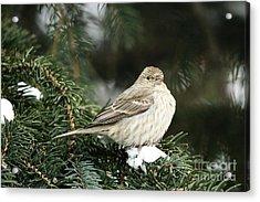 Female House Finch On Snow Acrylic Print