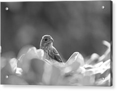 Female House Finch Perched In Black And White Acrylic Print