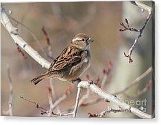 Female House Sparrow Acrylic Print