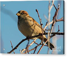Female House Sparrow Acrylic Print by Mike Dawson
