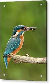 Female Kingfisher Acrylic Print