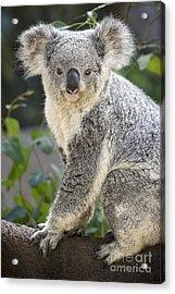 Female Koala Acrylic Print by Jamie Pham