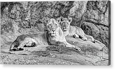 Female Lion And Cub Bw Acrylic Print by Marv Vandehey