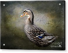 Female Mallard Acrylic Print by Brenda Bostic