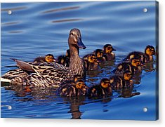 Female Mallard Duck With Chicks Acrylic Print