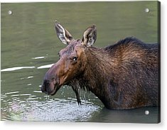 Acrylic Print featuring the photograph Female Moose Head by James BO Insogna