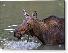 Acrylic Print featuring the photograph Female Moose Head Shot by James BO Insogna
