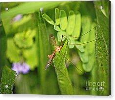 Female Mosquito Acrylic Print by Terri Mills