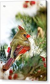 Female Northern Cardinal Acrylic Print by Christina Rollo