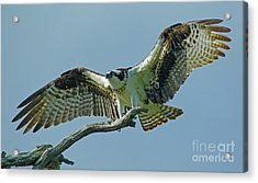 Female Osprey Acrylic Print