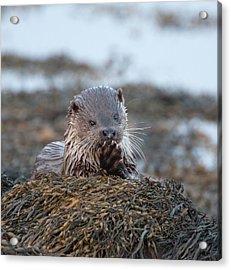Female Otter Eating Acrylic Print