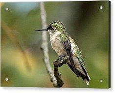 Female Ruby-throated Hummingbird On Branch Acrylic Print by Sheila Brown
