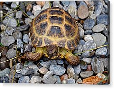 Female Russian Tortoise Acrylic Print