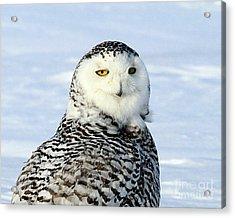 Female Snowy Owl Acrylic Print