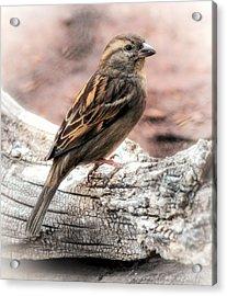 Female Sparrow Acrylic Print