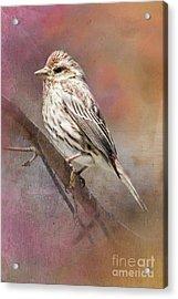 Female Sparrow On Branch Ginkelmier Inspired Acrylic Print