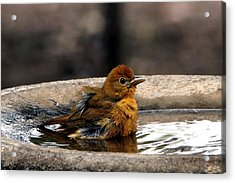 Female Summer Tanager In Bird Bath Acrylic Print