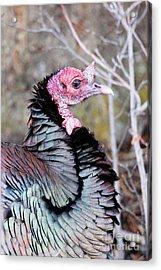Female Wild Turkey Acrylic Print