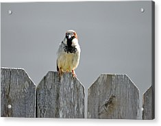 Acrylic Print featuring the photograph Fence Sitting  by Teresa Blanton