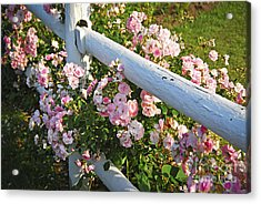 Fence With Pink Roses Acrylic Print by Elena Elisseeva