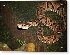 Acrylic Print featuring the photograph Fer-de-lance, Botherops Asper by Breck Bartholomew