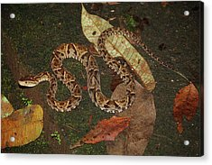 Acrylic Print featuring the photograph Fer-de-lance, Bothrops Asper by Breck Bartholomew