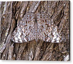 Acrylic Print featuring the photograph Ferentina Calico Butterfly by Sean Griffin