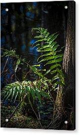 Fern And Cypress Acrylic Print