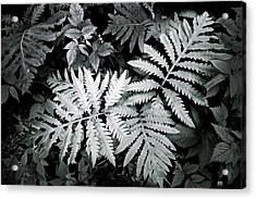 Fern At Bald Rock Acrylic Print