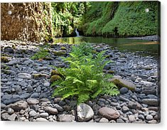 Ferns Along Banks Of Eagle Creek Acrylic Print